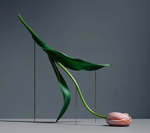 Carl Kleiner elegantně a melancholicky zachytává křehkou krásu tulipánů