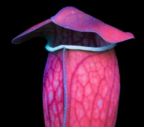 Umělec Craig Burrows odhaluje skrytou krásu fluorescence rostlin pomocí speciální UV techniky