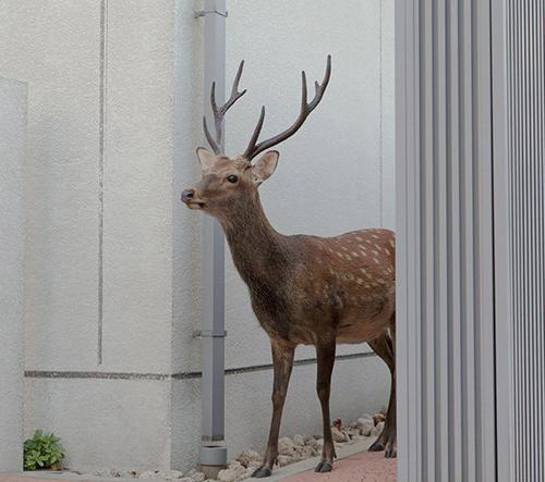 Fotografka Yoko Ishii fotí chráněné japonské jeleny v ulicích města Nara