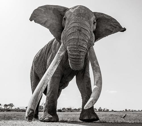 Will Burrard-Lucas nafotil vzácné fotky majestátní dožívající slonice