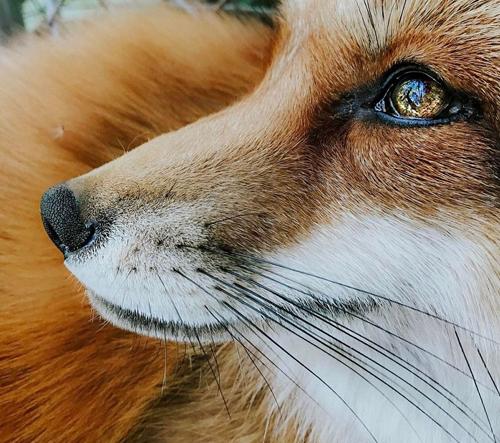 Takhle vypadá život nejšťastnější lišky na světe
