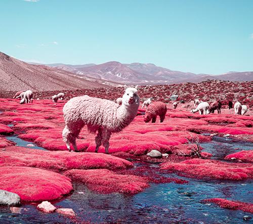 Lamy alpaky na snových fotkách Paola Pettigianiho