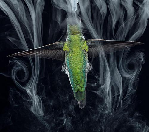 Zpomalené záběry ukazují nevídaný pohled na život kolibříků