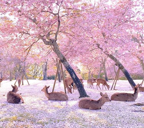 Jeleny v prázdném japonském parku Nara si užívají krásu rozkvetlých třešní